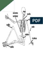 Articulaciones Del Cuerpo Humano