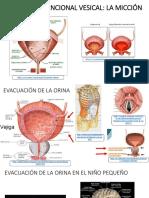Anatomía Funcional Vesical