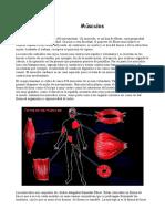 Anatom+¡a muscular