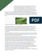 The Effectiveness of Lemon Grass