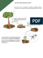 Ciclo de Vida de Las Plantas Con Flor