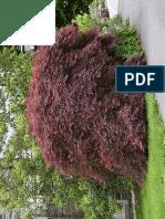 Acer Palmatum Diss. Tamukeyama