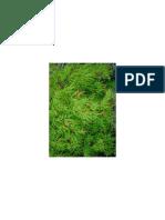 Acer Palmatum Dissectum 'Waterfall'