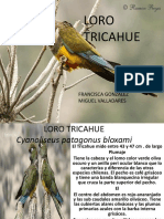 Loro Tricahue