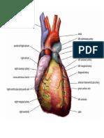 heart.docx