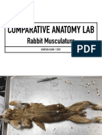 Rabbit Musculature