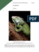 Iguana_iguana - Green Iguana