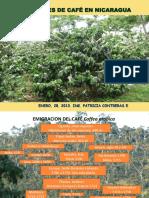 VARIEDADES de Café en Nicaragua, UN