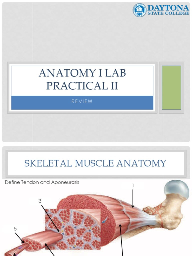 64 Anatomy I Lab Practical II Review Presentation | Anatomical Terms ...