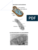 mitochondrion structure