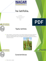 Typha latifolia.pptx