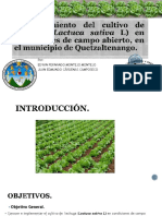 Presentacion Lechuga (Lactuca Sativa)
