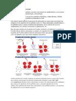 314218208-prueba-de-coombs.docx
