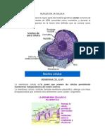 Nucleo de La Celula