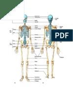 skeletal.docx