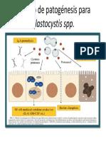 Modelo de Patogénesis Para Blastocystis Spp