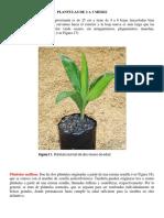 Plantulas de 2 a 3 Meses