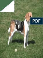 Beagle Atento