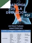 Anatomia de La Deglucion