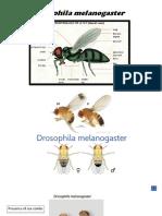 drosophila 2018.pptx