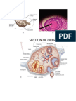 Anatomy of the Ovary