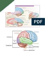 anatomi otak dan keterangannya