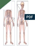 Esqueleto Huesos y Articulaciones