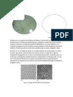 Rhodotorula sp.docx