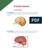 El cerebro Humano.pdf