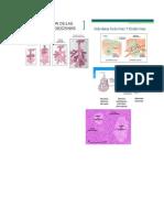 histologia cells exocrina