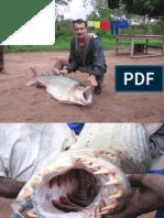 GOLIATH TIGER FISH SUPER HUGE