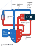 Circulatory System - Arterial & Venous Trees