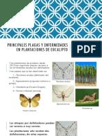 Principales Plagas y Enfermedades en Plantaciones de Eucalipto