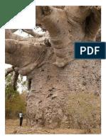 6000 Years-old Baobab Tree in Senegal