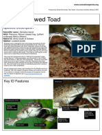 African Clawed Toad - ID Xenopus Laevis