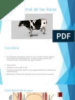 Ciclo Estral de Las Vacas