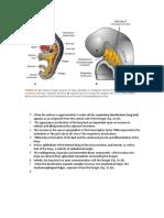 Respiratory Embryology