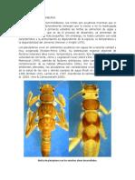 PLECOPTERA ANACRONEURIA