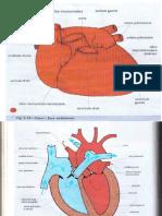 Schémas de l'Appareil Cardiovasculaire
