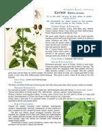 Catnip Nepeta Cataria materia medica herbs