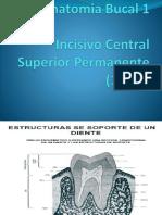 Incisivo Central Superio 11-21