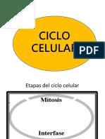 Ciclo Celular Carmen