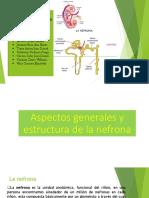 Aspectos Generales y Estructura de La Nefrona