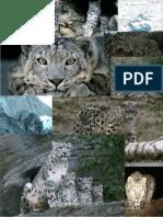 snow leopards pics