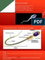 Qué Es El Espermatozoide