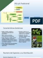 Myrtaceae.