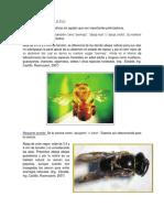 Hymenoptera Especies Importantes en El Perú (1)