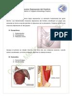 Musculos depresortes del hombro