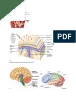 anatomi neuro.docx