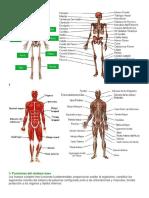 tarea del sistema muscular.docx